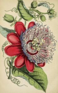 passion flower sketch